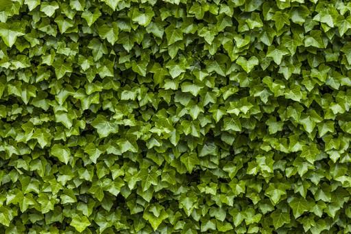 How to kill ivy